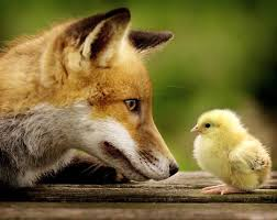 fox and hen